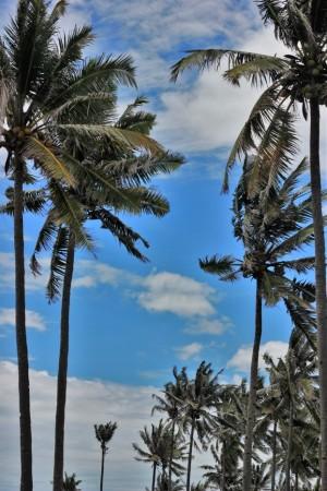 pohon kelapa pacitan